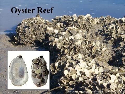 Underwater oyster reef - photo#4